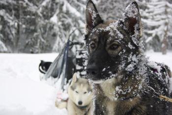 Mush and Rando chiens de traineau