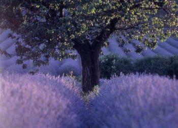 Venez à la découverte des fameux champs de lavande en Provence